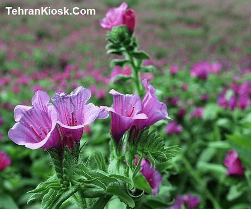 خاصیت ها و فواید گل گاو زبان در طب سنتی + مزایای درمانی گل گاو زبان