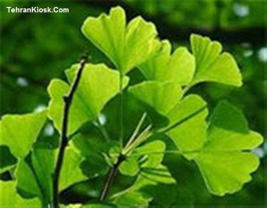 خواص و فواید گیاه جینکوبیلوبا در طب سنتی + مزایای دارویی و درمانی آن