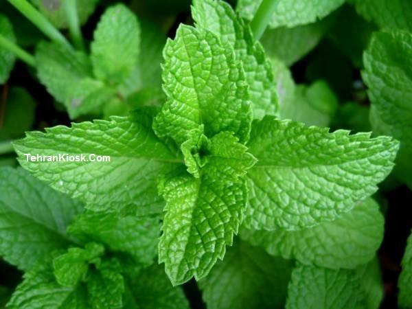 خواص و فواید ارزشمند پونه در طب سنتی + مزایای دارویی و درمانی پونه