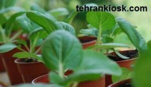 نحوه پرورش سبزی در منزل و شناخت و بررسی آفات آن