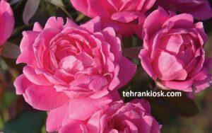 متن خاص گل محمدی به همراه اشعار زیبا دراین مورد