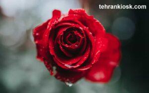 متن درمورد گل رز قرمز به همراه جملات فلسفی و خاص